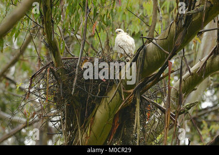 Grey (White)Goshawk Accipiter novaehollandiae At nest Photographed in Tasmania, Australia - Stock Photo