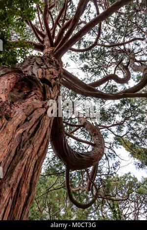 Bottom view of Krummholz tree - Stock Photo
