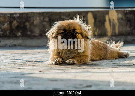 Pekingese also lion dog an ancient breed toy dog, sitting on floor, a resemblance to Chinese guardian lions. - Stock Photo