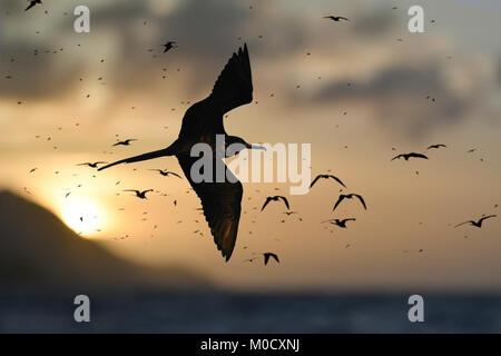 Magnificent Frigatebird - Fregata magnificens - Stock Photo
