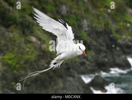 Red-billed Tropicbird - Phaethon aethereus Little Tobago, Trinidad and Tobago - Stock Photo