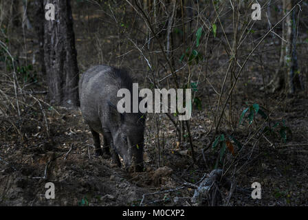 Indian Wild Boar - Sus scrofa cristatus, Sri Lanka - Stock Photo