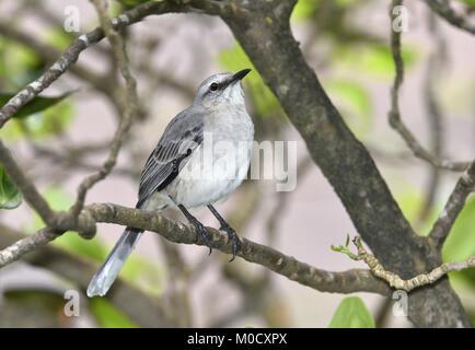 Tropical Mockingbird - Mimus gilvus - Stock Photo