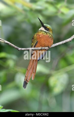Rufous-tailed Jacamar - Galbula ruficauda - Stock Photo