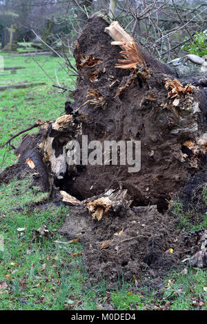 a fallen tree ripped from the ground and uprooted during high winds in a winter gale or storm. damaging gusts of - Stock Photo