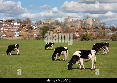 Friesian cows grazing in pasture in Arundel with the castle behind, West Sussex, England