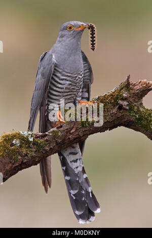 CUCKOO (Cuculus canorus) male with drinker moth caterpillar prey, Kirkcudbrightshire, Scotland, UK. - Stock Photo