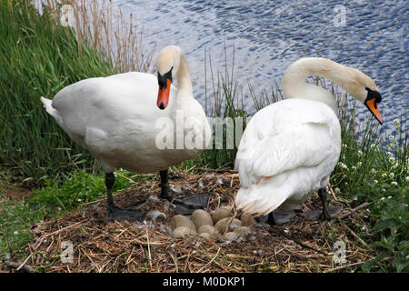 MUTE SWANS Cygnus olor nesting, cob (left) prepares to cover the eggs while the pen (right) takes a break from incubation, - Stock Photo
