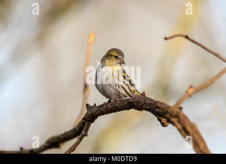 The Eurasian siskin is a small passerine bird in the finch family Fringillidae. It is also called the European siskin, - Stock Photo