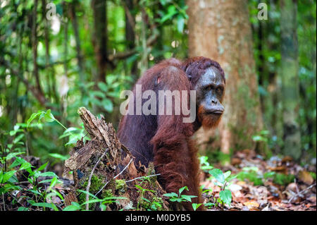 Bornean orangutan in the wild nature. Central Bornean orangutan ( Pongo pygmaeus wurmbii ) in natural habitat. Tropical - Stock Photo