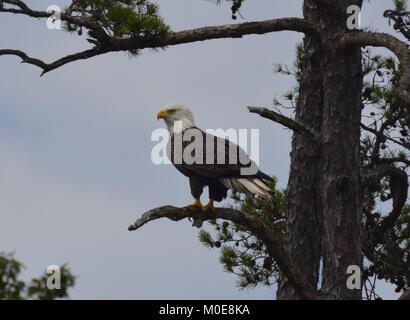 The Bald Eagle - Stock Photo