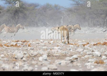 Lion and Zebras running away, defocused in the background. Wildlife safari in the Etosha National Park, Namibia, - Stock Photo