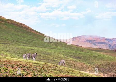 Zebras grazing in the mountain at Golden Gate Highlands National Park, travel destination in South Africa. - Stock Photo