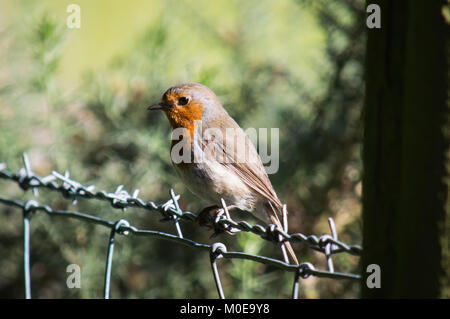A robin on a wire fence - Stock Photo