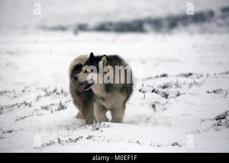 West Yorkshire, UK. 21st Jan, 2018. An Alaskan malamute dog in snow on Saddleworth Moor, West Yorkshire, 20th January, - Stock Photo