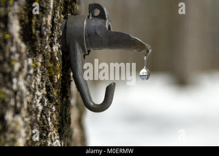 sweet maple water dripping from a spout tapped in a tree, magnifying the forest of the background. - Stock Photo