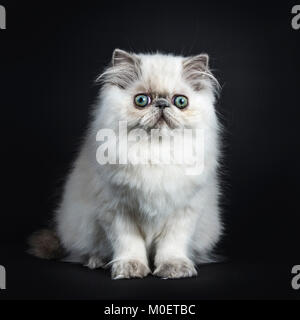 Persian longhair cat / kittens sitting isolated on black background looking straight ahead - Stock Photo