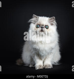 Persian longhair cat / kitten sitting isolated on black background looking straight in camera - Stock Photo