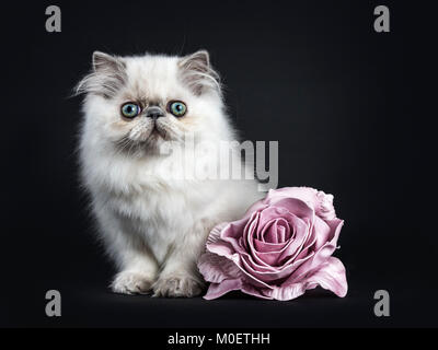 Persian longhair cat / kitten sitting isolated on black background looking with pink rose flower - Stock Photo