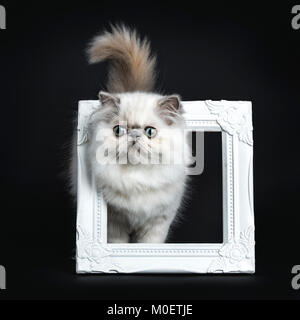 Persian longhair cat / kitten walking through white photo frame isolated on black background with tail and head - Stock Photo