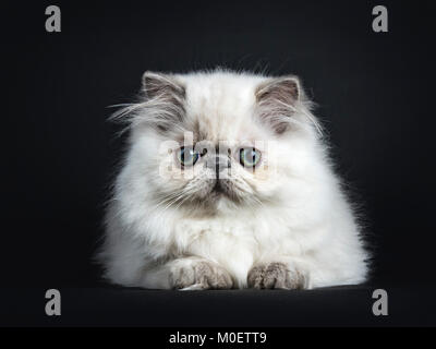 Persian longhair cat / kittens laying down isolated on black background looking straight ahead - Stock Photo