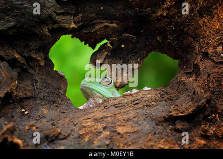 Dumpy tree frog looking through a hole in a piece of wood - Stock Photo