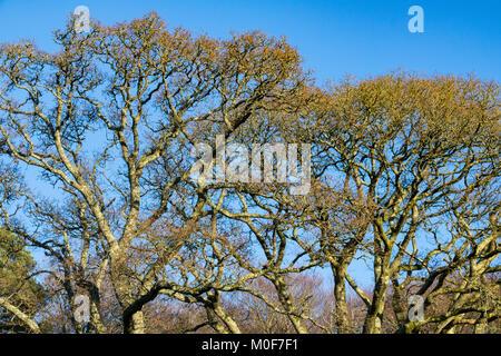 Winter Tree Tops: Tops of Oak Trees in Winter Against a Blue Sky. Torrington, Devon, England. - Stock Photo