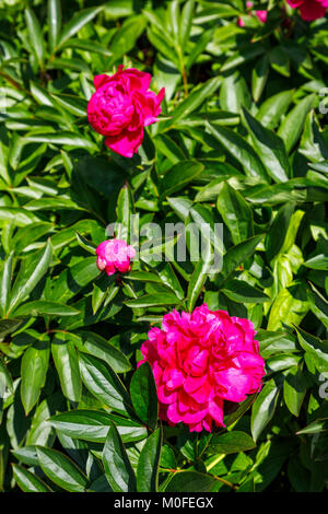 Dark pink to red peonies (Paeonia) growing in an English garden border in late spring to early summer, Surrey, south - Stock Photo