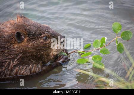 Beaver (Castor canadensis) eating Saskatoon berry leaves (Amelanchier alnifolia) - Stock Photo