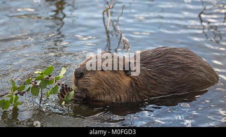Beaver (Castor canadensis) eating Saskatoon berries and leaves (Amelanchier alnifolia) - Stock Photo