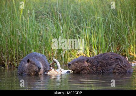 Beaver mother and kit (Castor canadensis) eating bark from Balsam Poplar tree - Stock Photo