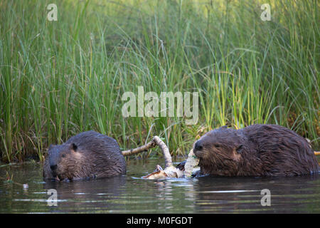 Beaver mother and kit (Castor canadensis) eating bark from Balsam Poplar tree - Stock Photo