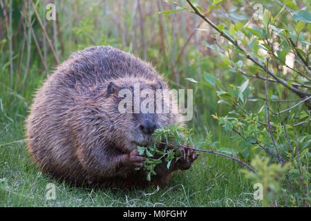 Beaver (Castor canadensis) feeding on wild rose shrub (Rosa spp) - Stock Photo