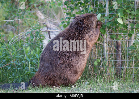 Beaver (Castor canadensis) eating Trembling Aspen leaves (Populus tremuloides) poking out from saplings wrapped - Stock Photo