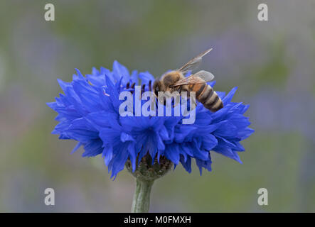 Honeybee-Apis mellifera nectaring on Cornflower-Centaurea cyanus. - Stock Photo