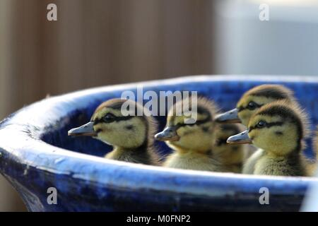 Newly Hatched Ducklings Hiding in a Planter - Stock Photo