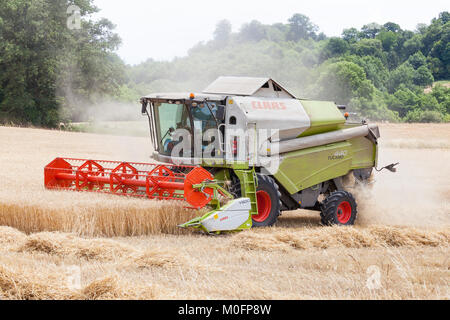 Two farmers harvesting wheat, Triticum aestivu,,  in a Class Tucano 440 combine harvester with V600 cutter head - Stock Photo