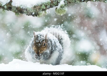 Grey Squirrel in UK in winter - covered in thick snow - Scotland, UK - Stock Photo