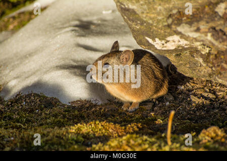 Royle's pika (Ochotona roylei) at Kedarkantha Wildlife Sanctuary. - Stock Photo