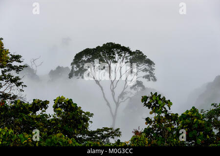 Lone tree silhouette in the morning mist over primary rainforest canopy, Danum Valley, Borneo, Sabah, Malaysia - Stock Photo