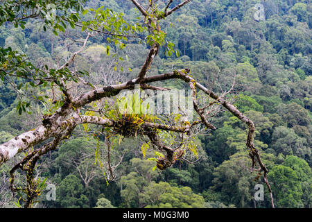 View over primary rainforest canopy, Danum Valley, Borneo, Sabah, Malaysia - Stock Photo