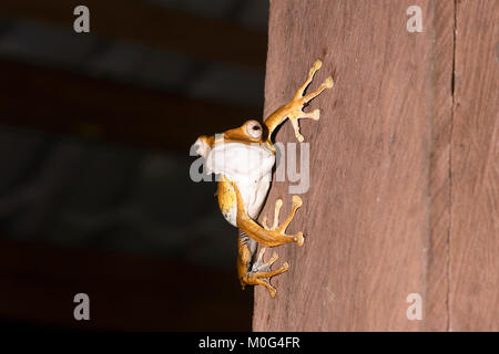 File-eared Tree Frog (Polypedates otilophus), Danum Valley Conservation Area, Borneo, Sabah, Malaysia - Stock Photo