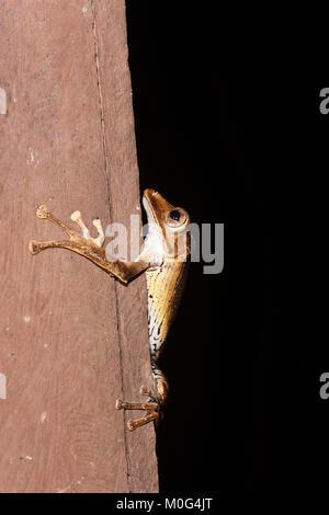 File-eared Tree Frog (Polypedates otilophus), Danum Valley Conservation Area, Borneo, Sabah, Malaysia - Stock Photo