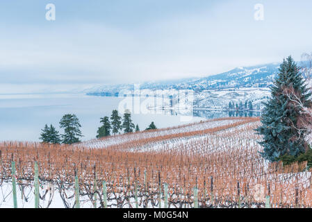 Rows of grapevines in snow covered vineyard with Okanagan Lake and mountains on foggy winter afternoon - Stock Photo