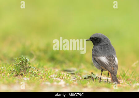 Male Black redstart(Phoenicurus ochruros) searching for food items on the ground. - Stock Photo