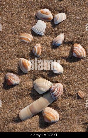 Sea shells on a beach. Scheveningen, The Hague (Den Haag), Netherlands - Stock Photo