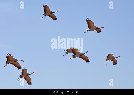 A flock of Demoiselle Cranes (Grus virgo) flying above Kichan village, Rajasthan, India - Stock Photo