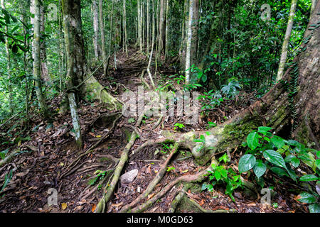 Exposed roots in primary rainforest, Danum Valley Conservation Area, Borneo, Sabah, Malaysia - Stock Photo