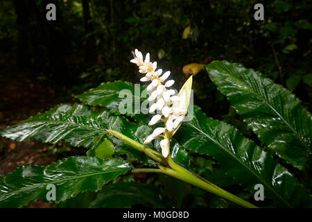 Wild Ginger growing in primary rainforest, Danum Valley Conservation Area, Borneo, Sabah, Malaysia - Stock Photo