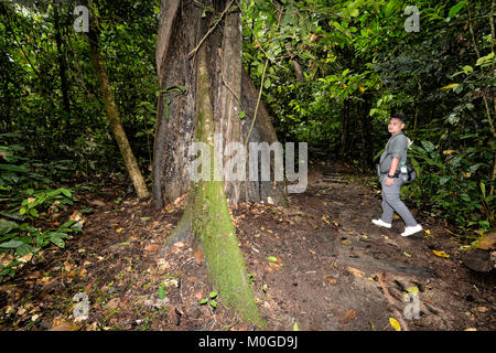 Guide showing a buttress tree in primary rainforest, Danum Valley Conservation Area, Borneo, Sabah, Malaysia - Stock Photo
